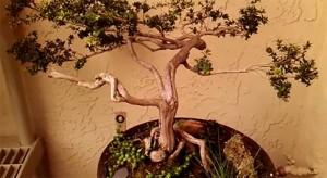 b decarlo bonsai