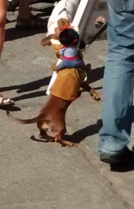 dachshund horse throwing rider boo parade