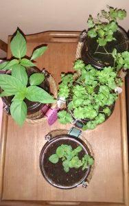 herbs august 7